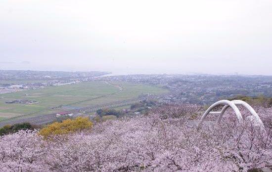 桜のご案内【出水市『東光山公園』】